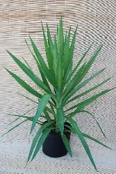 Palmeiras yucca elephantipes florcerta horticulture - Yucca elephantipes cuidados ...